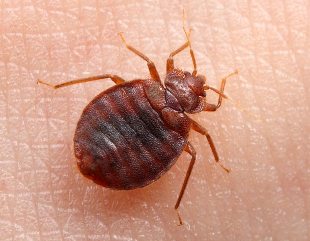 Travel lovers, bed bugs are on holidays with you