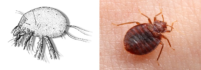 The difference between bed bugs and mites
