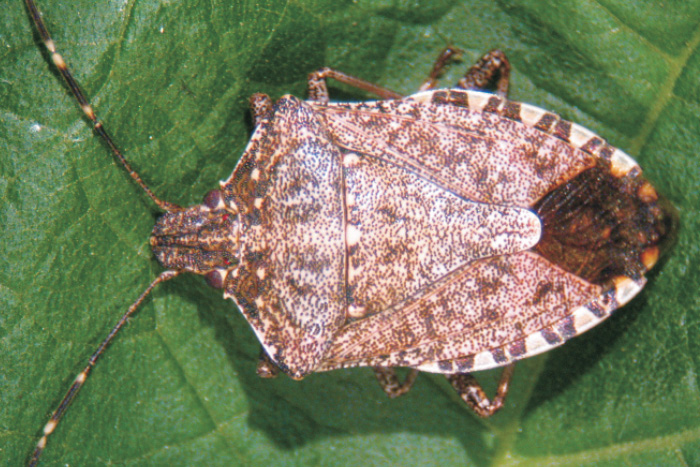 The invasion of bed bugs in North Italy