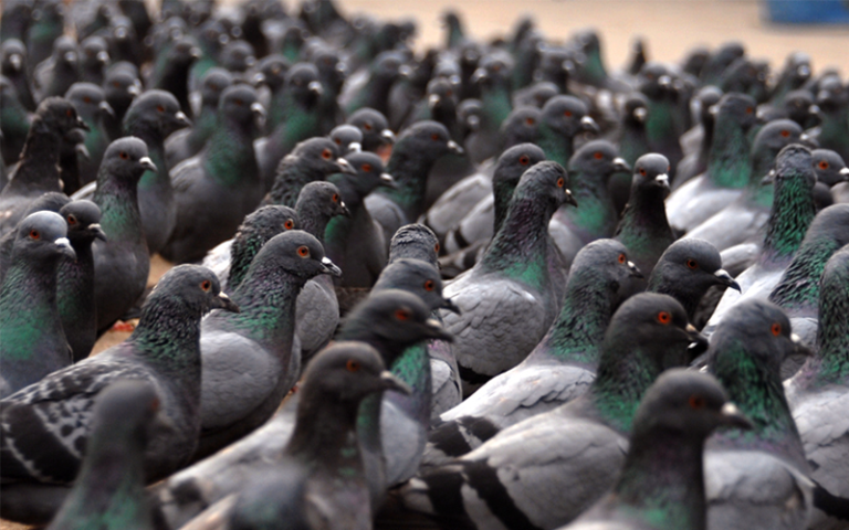 Risks and damage caused by pigeons