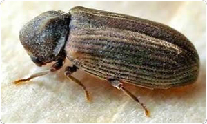 Estimates for ecological woodworm removal service