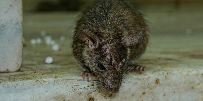 Rodents as Coronavirus carriers?