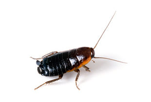 Cockroaches and beetles