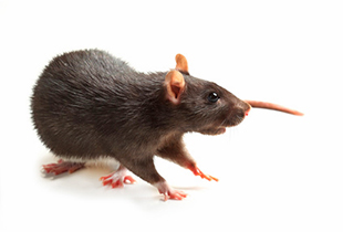 Rattus rattus (Black rat)